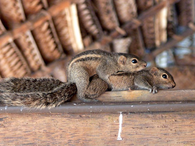 Palm Squirrels mating at Mount Lavinia.