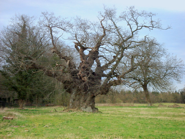 Mottisfont Oak