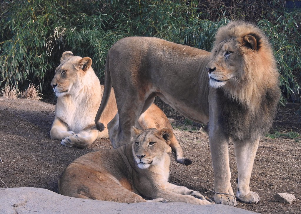 3218e2x P900 lion family portrait