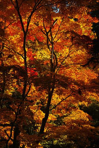 red leaves japan sigma aomori merrill dp3 kuroishi 中野もみじ山 dp3m nakanomomiji