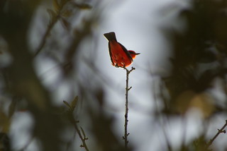 Vermillion Flycatcher Anahauc 1-16 | by johnd1964