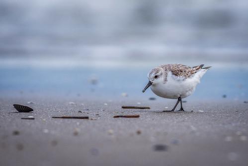 ocean winter bird nature animal us newjersey nikon unitedstates wildlife peep sandpiper wildwood atlanticocean sanderling shorebird northwildwood d7200