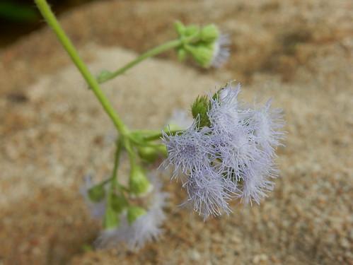 El Aguacero - bloem