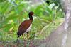 Madagascan Ibis, Analamazoatra, Madagascar by Terathopius