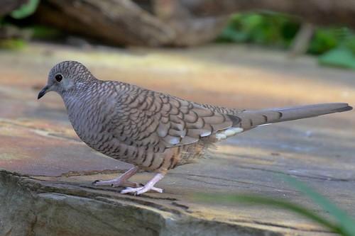Inca Dove   by dfaulder
