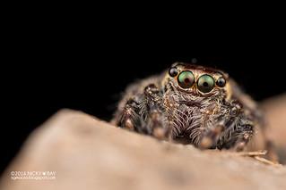 Jumping spider (cf. Colyttus sp.) - DSC_3346