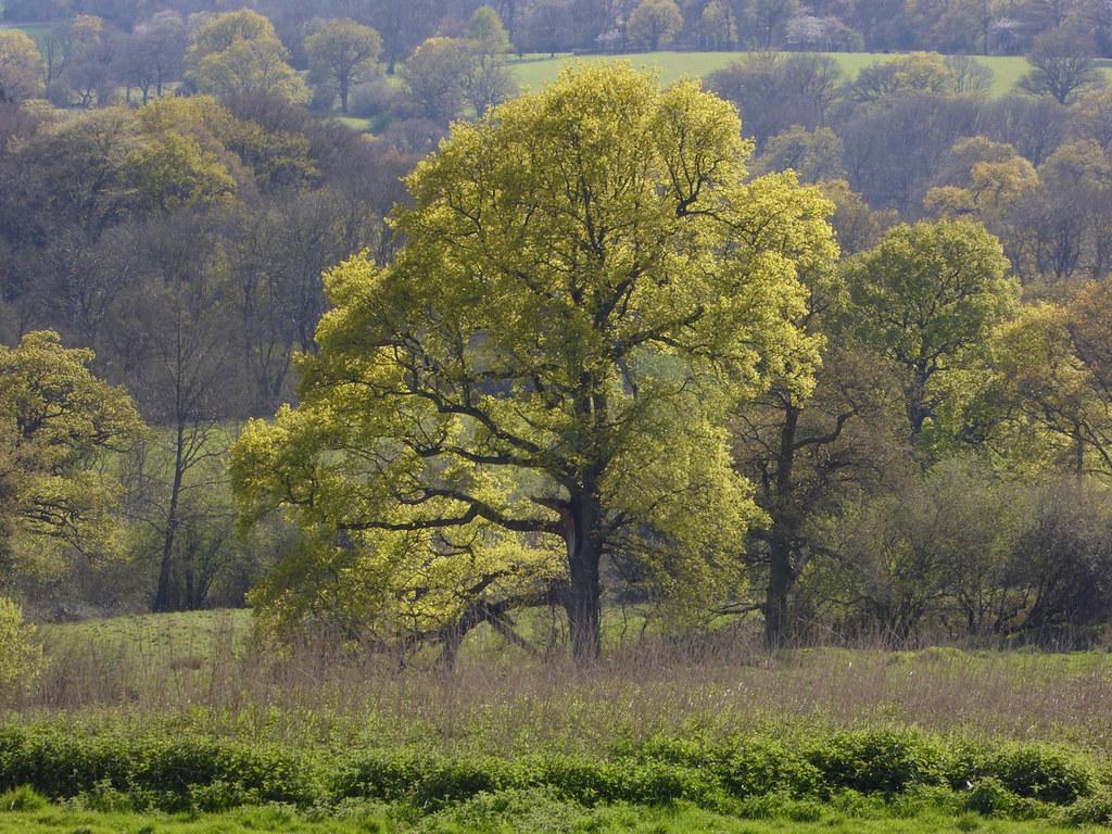 Oak newly in leaf Yalding to Sevenoaks walk