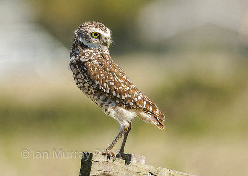 IMG_4218 Cape Coral Burrowing Owl | by Wallace River
