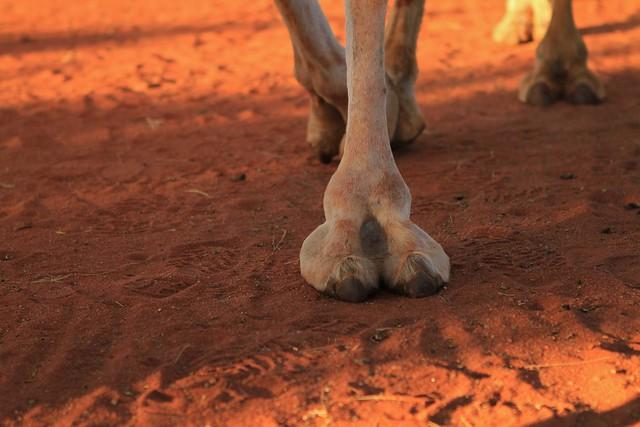 23 camel legs Uluru Photography 007