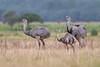 Greater Rhea (Rhea americana) by ivansjogren
