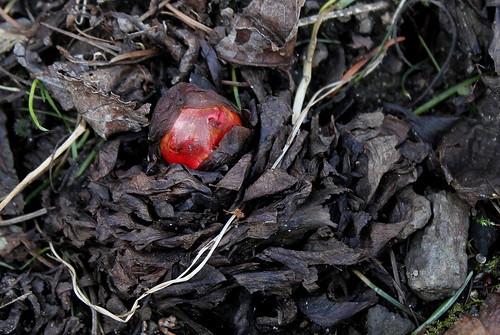 Rheum rhabarbarum - la délicieuse rhubarbe des jardins  25296273833_9c2fd6eb48