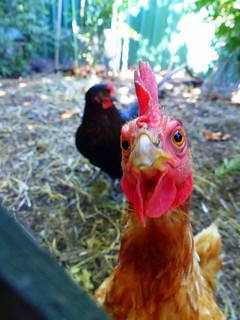 Photobombing chook | by Snuva
