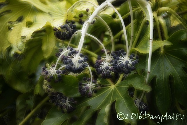 Fatsia-Fruit