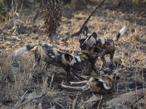 PC090965 African wild dogs | by Joanna P Dale