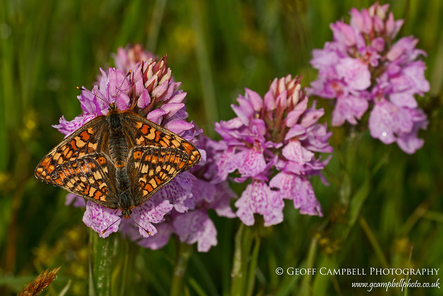 Butterfly and Orchid - Marsh Fritillary on Heath Spotted Orchid