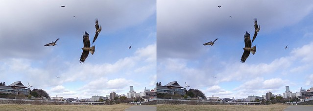 black kites, stereo cross view