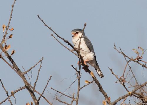 falcon ethiopia
