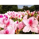 見る人の足を引き止める美しさ。 #躑躅 #公園散歩 #昭和の日