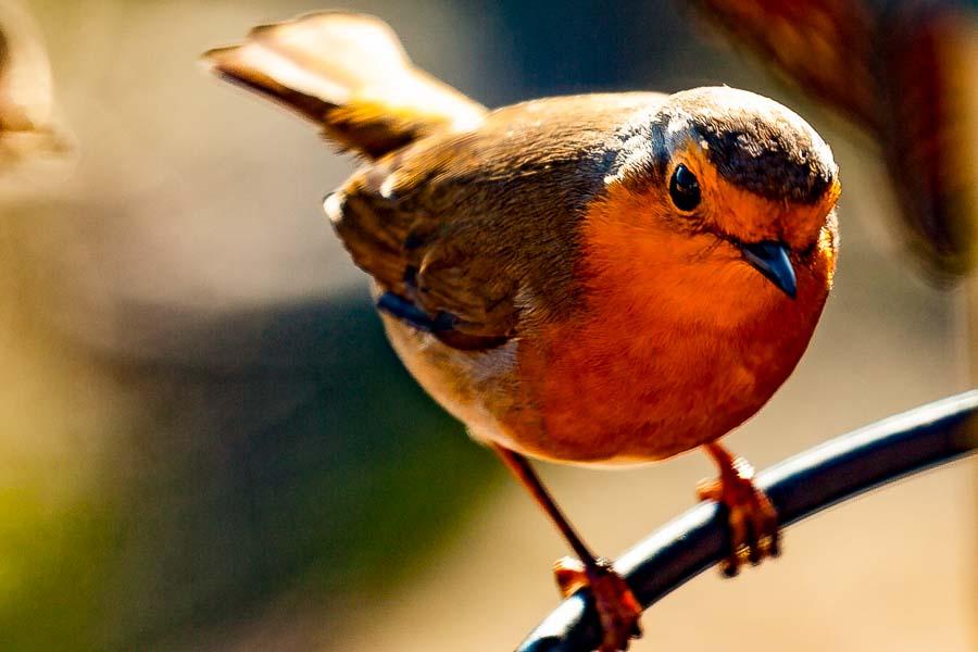 Ralf my local Robin checking out HIS Garden!!