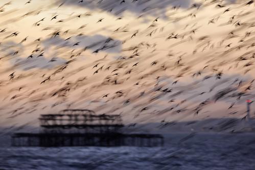 sunset nature birds sussex brighton wildlife westpier starlings murmuration