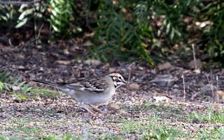 Lark sparrow | by GregTheBusker