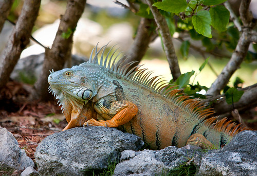 Green Iguana | by Nick Scobel