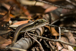 Eastern Water Skink | by J.P. Lawrence Photography