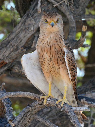 Peneireiro-grande // Greater Kestrel | by jvverde