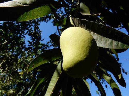 Zipolite - mango tree - 1
