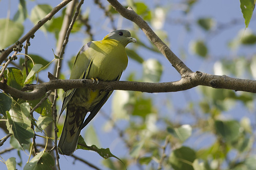 Yellow-footed Green Pigeon | by as_kannan
