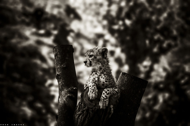 little cheetah bored in B&W
