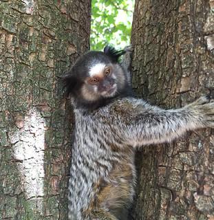 Série com o Sagui-de-tufos-pretos (Callithrix penicillata) - Series with the Black-ear-tufted-marmoset - 16-02-2016 - IMG_0725