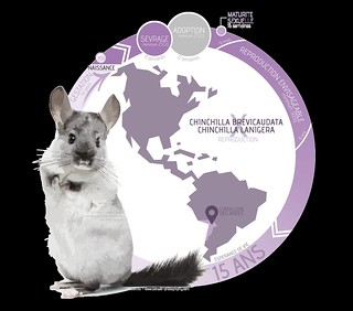 INFOGRAPHICS - Chinchilla - Reproduction | by _Banzaii.