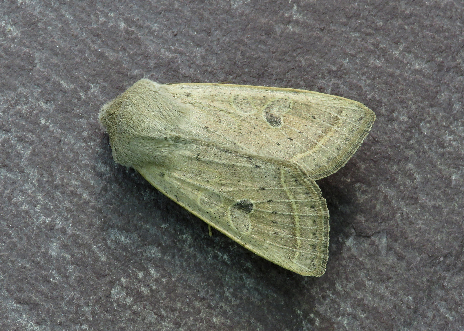 73.247 Powdered Quaker - Orthosia gracilis