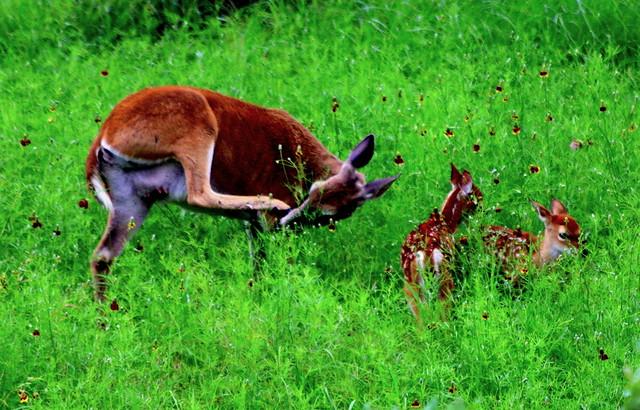 Texas whitetail deer