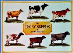 The many breeds of dairy cattle.