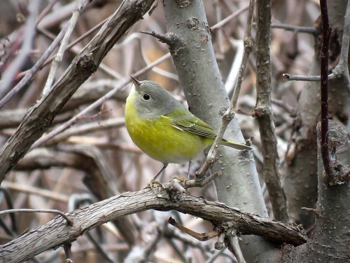 Nashville Warbler | by Justin L. Lee