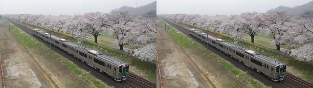 Cherry blossoms and a train (Hitome-senbon-zakura), 4K UHD, stereo cross view