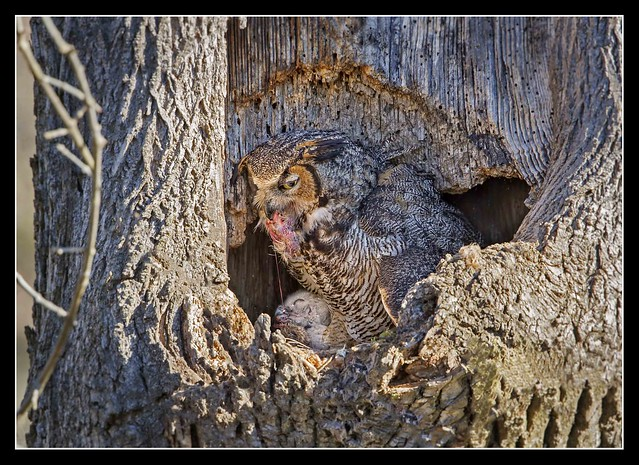 Attentive Mother Owl...