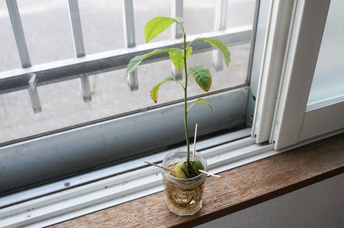 plants - アボカド   by icoro.photos
