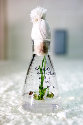 Young rice plants being grown using tissue culture | by IRRI Images