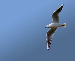 another sea gull | by Laenulfean