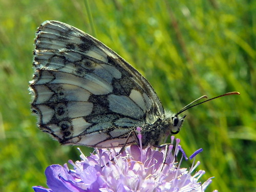 Marbled White (Melanargia galathea) | by Peter O'Connor aka anemoneprojectors