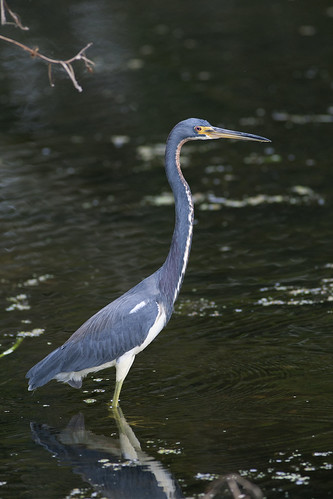 Tricolored Heron | by dsiegel2