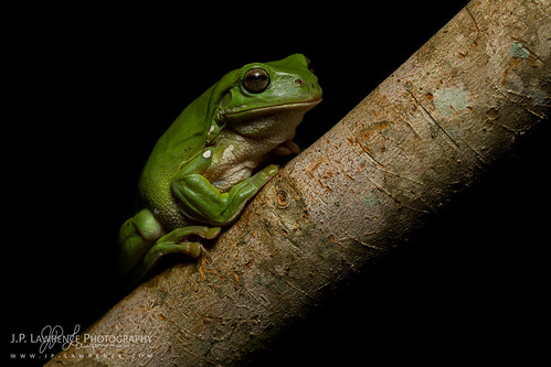 White's Tree Frog | by J.P. Lawrence Photography