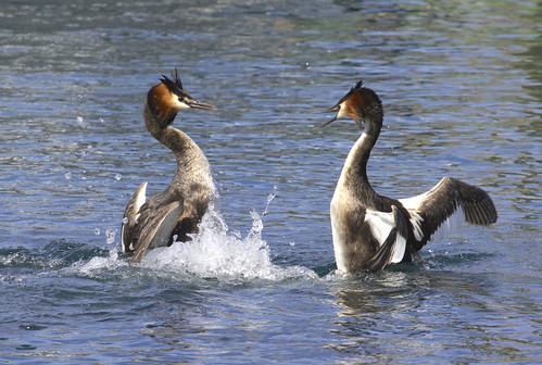 "Great Crested Grebe (Podiceps cristatus) | by Gregory ""Slobirdr"" Smith"