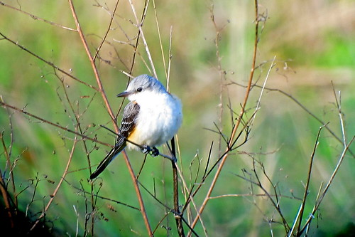 Scissor-tailed Flycatcher, Yucca Pens, FL 1/19/2016 | by Marg Higbee