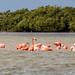 American Flamingo [Phoenicopterus ruber] por EdBoyd1959