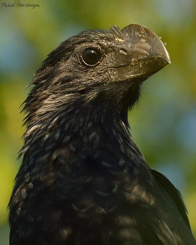 Smooth-billed Ani (Crotophaga ani) | by Michiel Oversteegen - amateur photographer