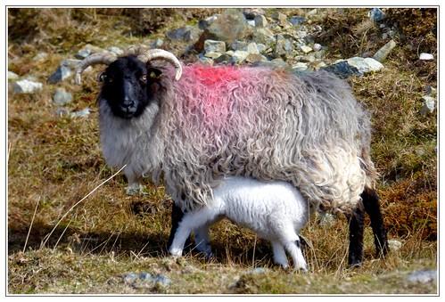 Sheep regeneration